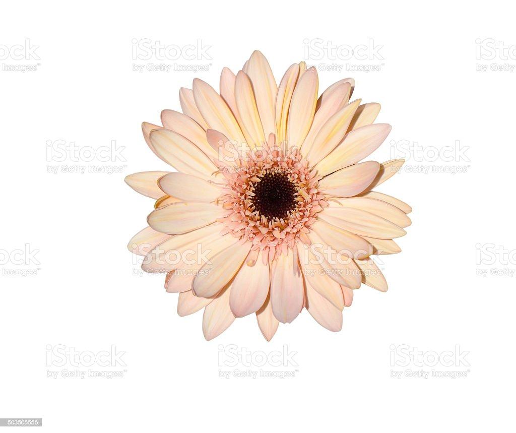 Rosa flores Gerbera - foto de stock