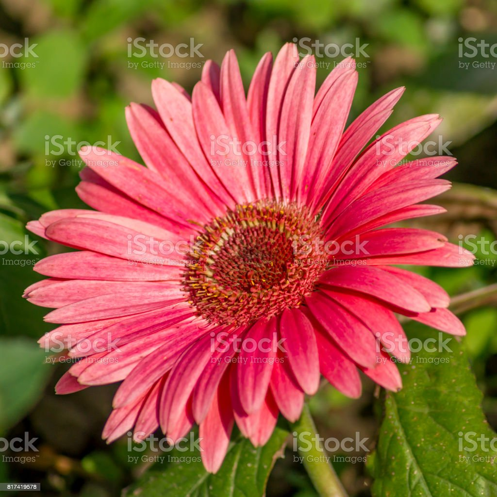 pink gerbera in the garden stock photo