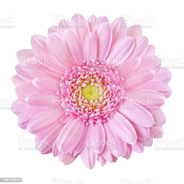 Pink gerbera isolated picture id1091280274?b=1&k=6&m=1091280274&s=612x612&h=5orwalb9j1d42bof1qfmtoo1zkpzvt ymewchmujyz4=