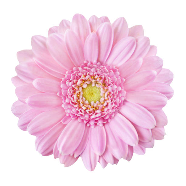 Pink gerbera isolated picture id1091280274?b=1&k=6&m=1091280274&s=612x612&w=0&h=93x1e1 2ep0atf5mrbd1v4oemejthnu4rjl2chnf7uu=