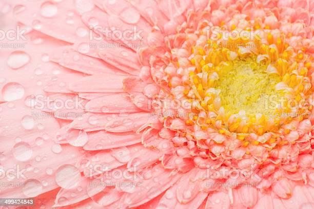 Pink gerbera picture id499424843?b=1&k=6&m=499424843&s=612x612&h=4ixrvl38nmcq8xf7a7jhnlwqozkoo1fjqu3joufzlle=