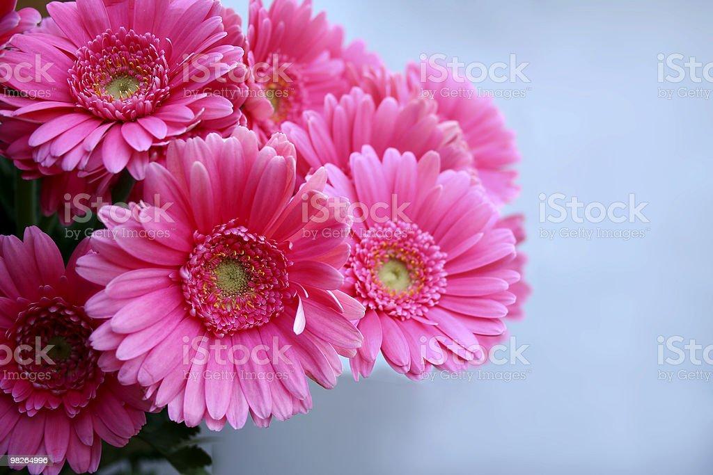 Gerbera rosa foto stock royalty-free
