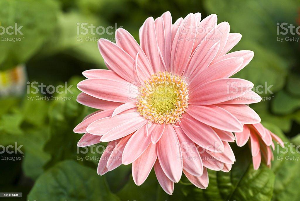 Pink Gerbera royalty-free stock photo