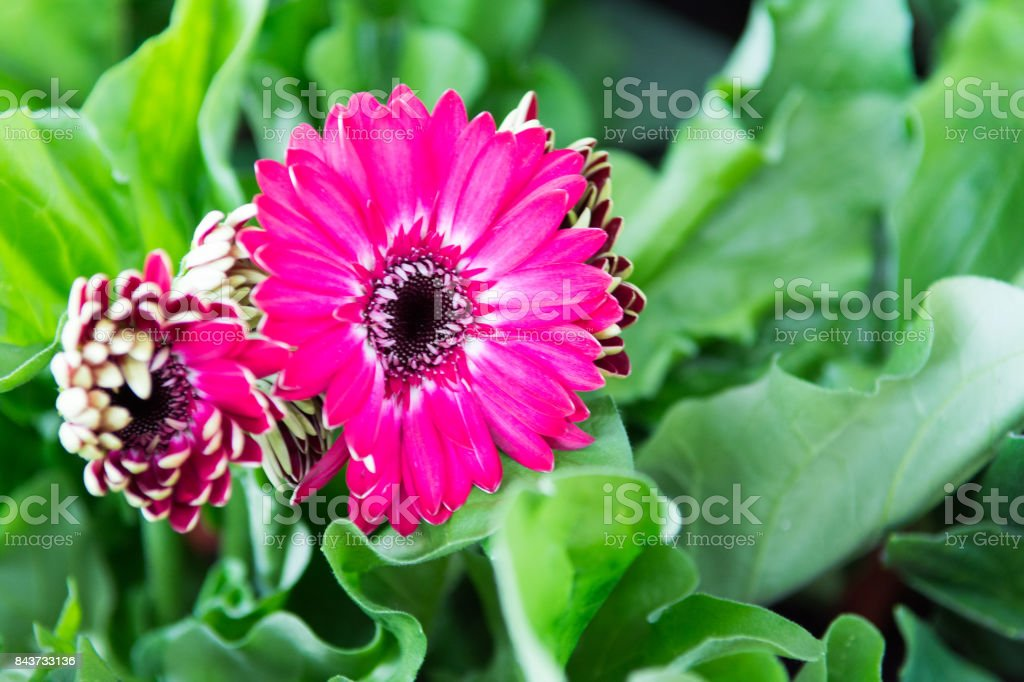 Pink gerbera with leaves background stock photo
