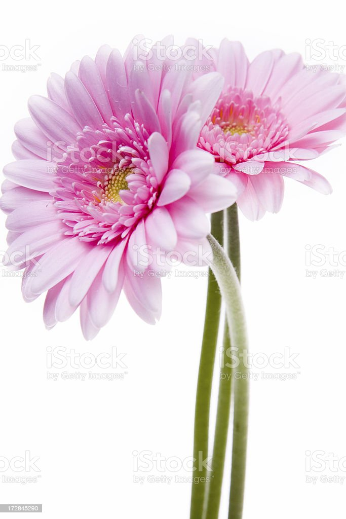 pink gerberas flower on white royalty-free stock photo