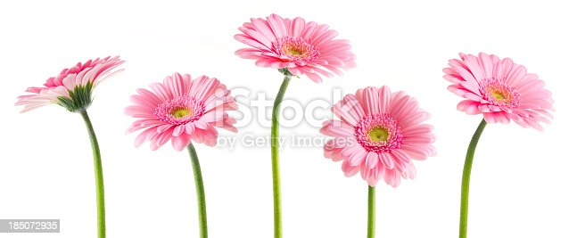 Pink Gerberas flowers, isolated on white background with Clipping Path.