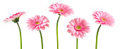 istock Pink Gerberas (Clipping Path) 185072935