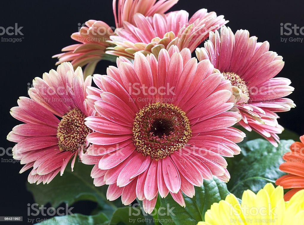Pink gerger royalty-free stock photo
