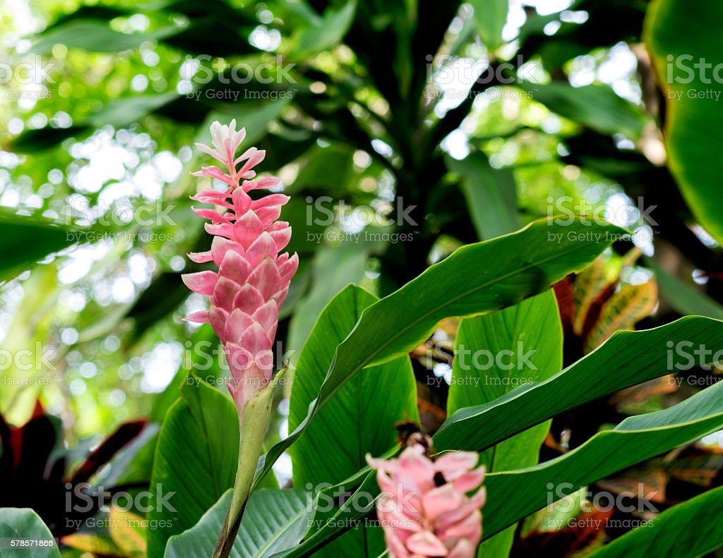 Pink ginger flower or Jungle queen. stock photo