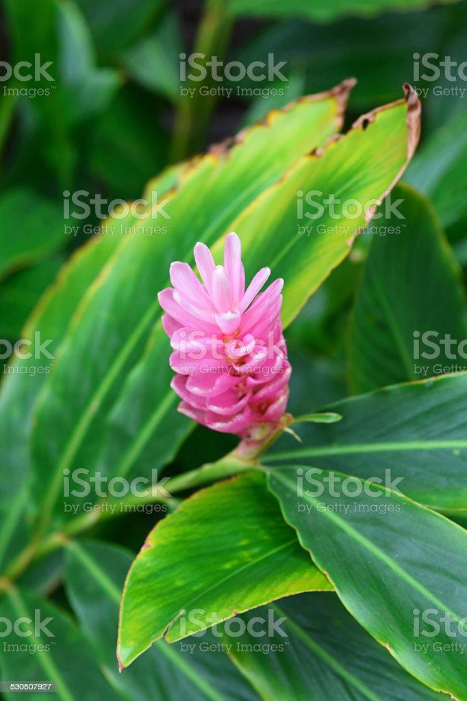 Pink Ginger Flower stock photo