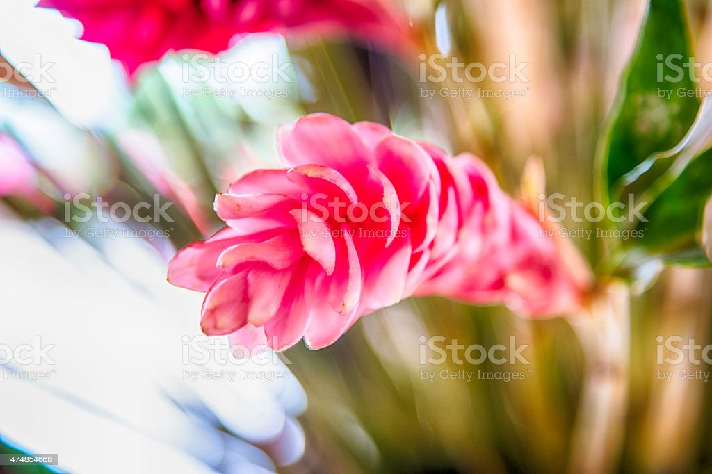 Pink Ginger stock photo