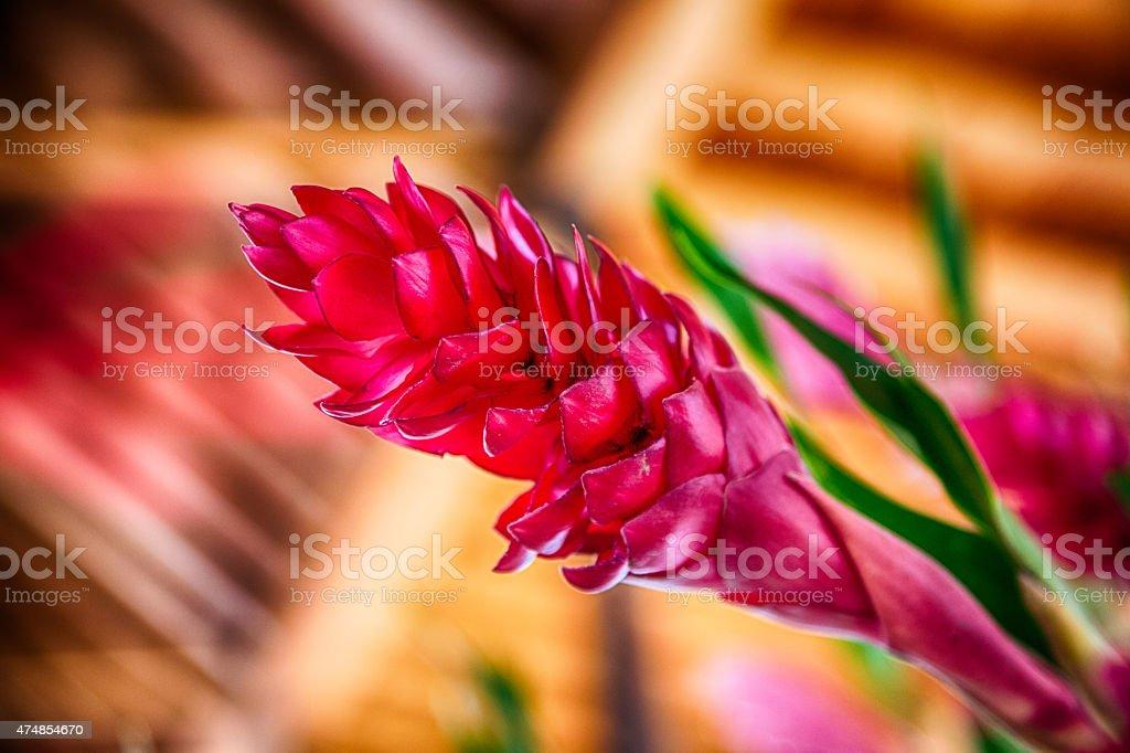 Pink Ingwer – Foto