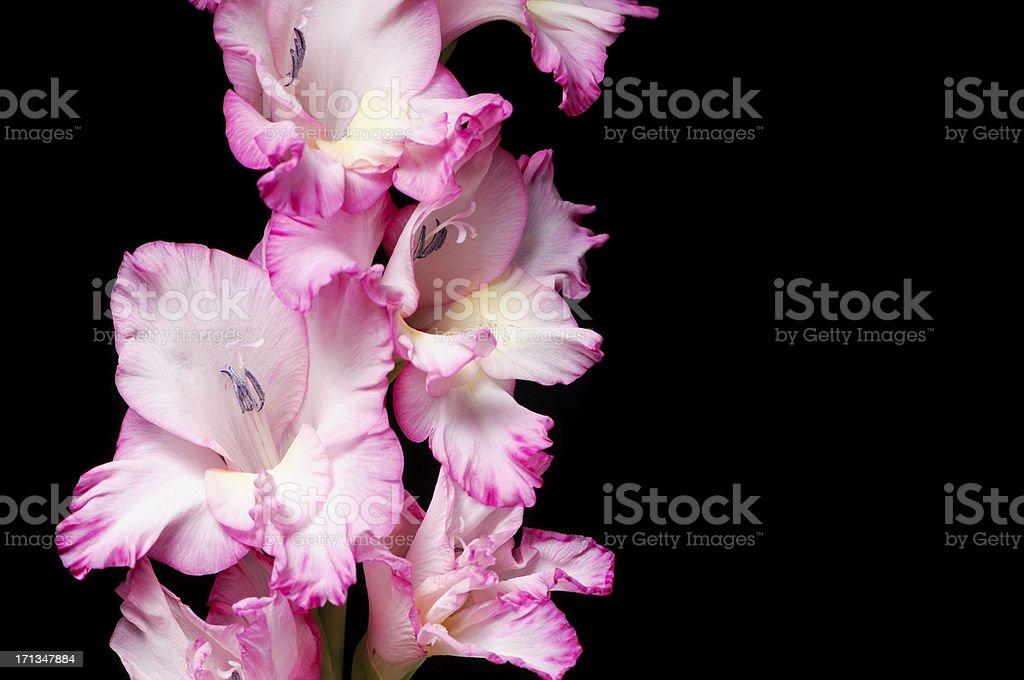 Pink gladiola isolated on black royalty-free stock photo