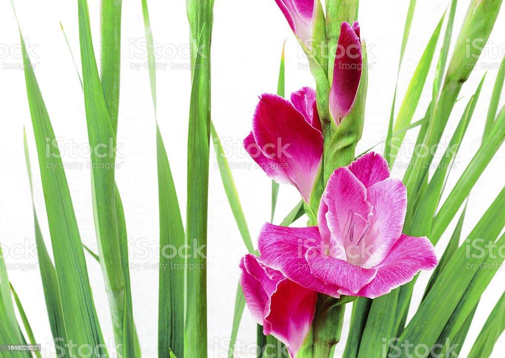 Pink gladioli in china royalty-free stock photo