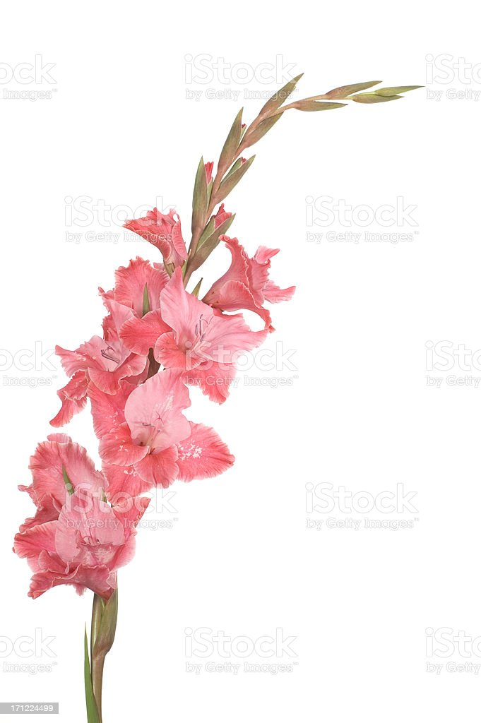 pink gladioli stock photo