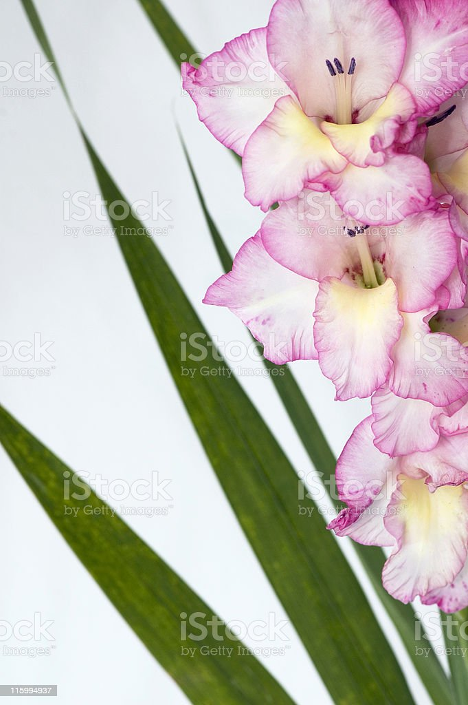 Pink Gladiolus 3 royalty-free stock photo