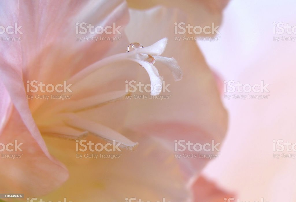 Pink gladiolus macro royalty-free stock photo
