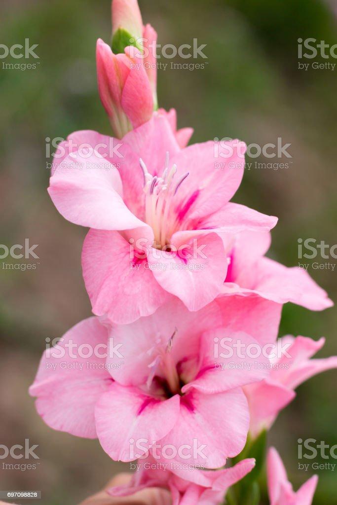 Rosa Gladiolo Foto De Stock Y Más Banco De Imágenes De