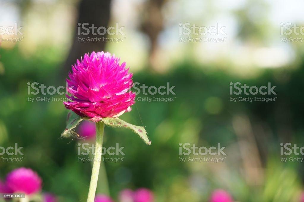 pink gomphrena globosa flower in nature garden - Royalty-free Ao Ar Livre Foto de stock