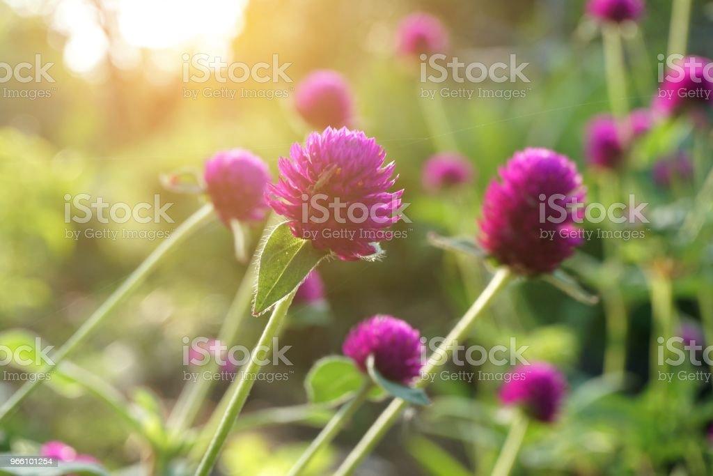 Rosa gomphrena globosa blomma i natur trädgård - Royaltyfri Blomkorg - Blomdel Bildbanksbilder