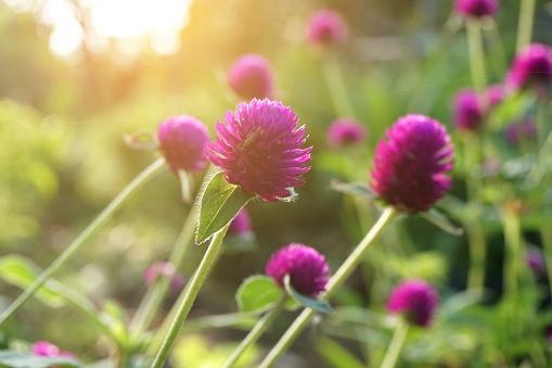 Roze Gomphrena Globosa Bloem In Natuur Tuin Stockfoto en meer beelden van Bloem - Plant