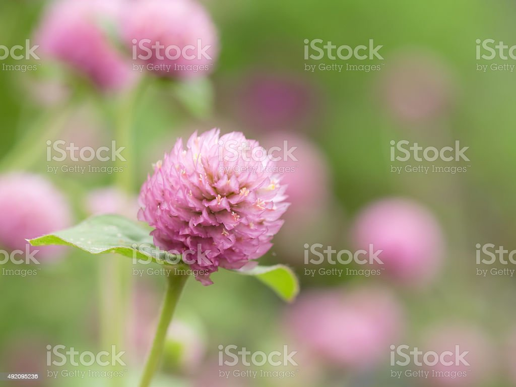 Pink gomphrena globosa in the  flower bed. stock photo