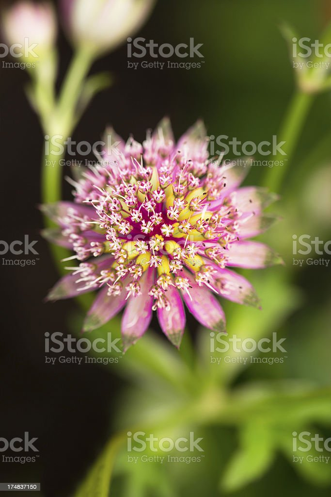 Pink great masterwort royalty-free stock photo