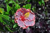 Pink Hawaiin hibiscus flower