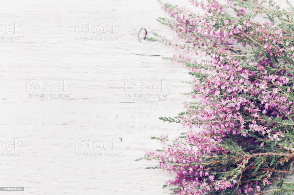 Pink Heather Flower Border Calluna Vulgaris Erica Ling On White Rustic Table