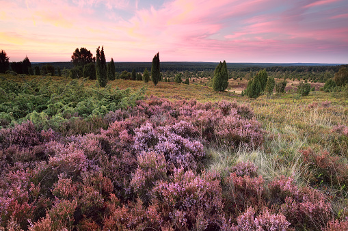 pink heather flowers on hills at sunset