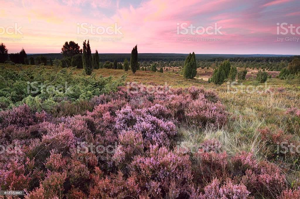 pink heather flowers on hills at sunset stock photo