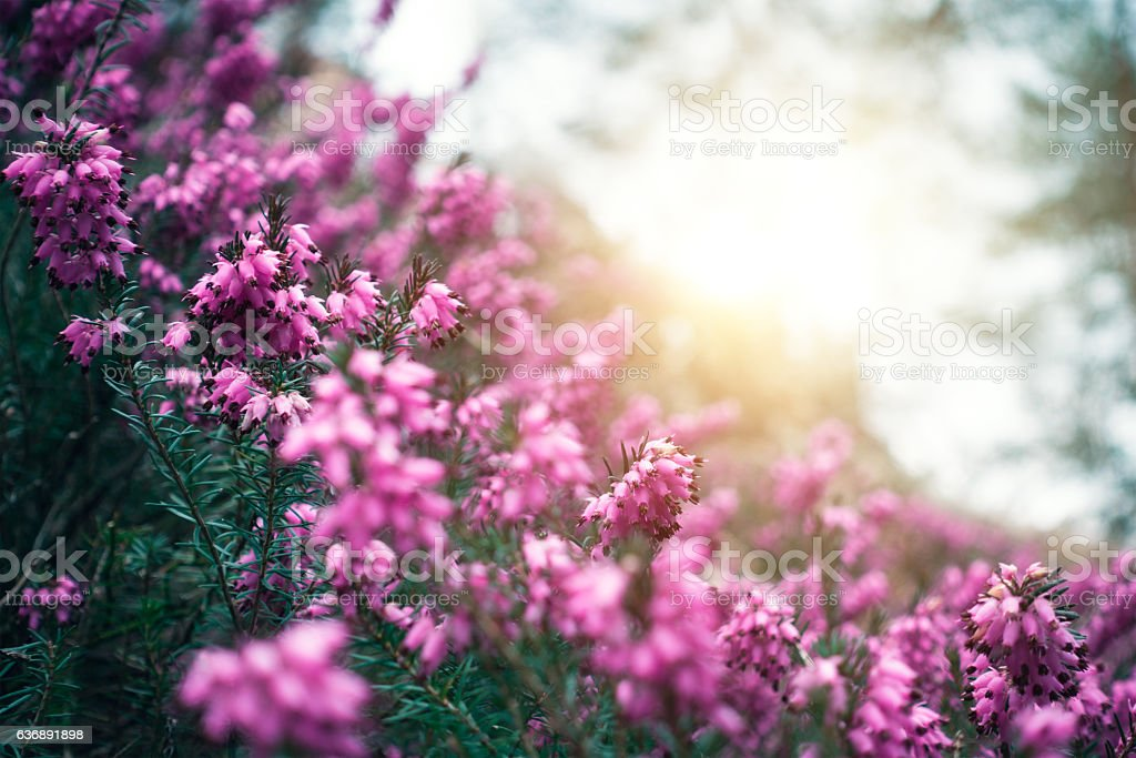 Pink Heather In Spring stock photo