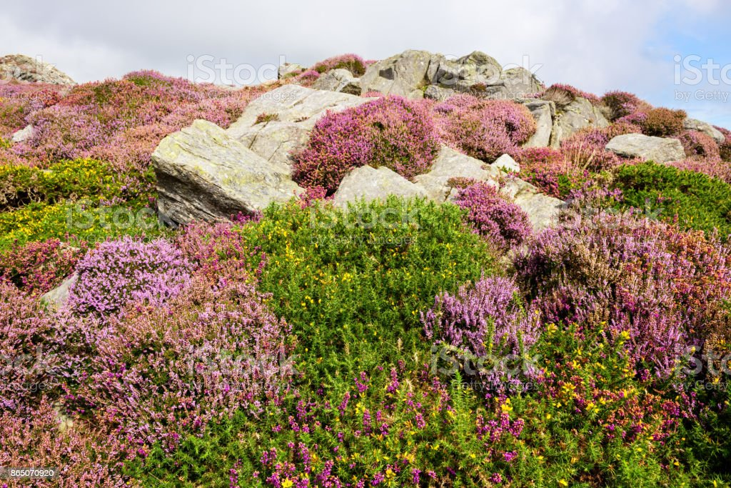 Pink Heather,  mountain moorland,  Barmouth, Wales stock photo