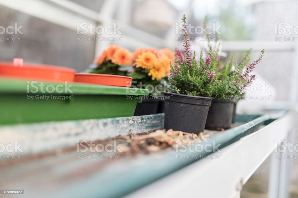 Pink heathers and Dwarf yellow and orange chrysanthemum flowers growing on wooden base in a traditional English potting shed or green house stock photo