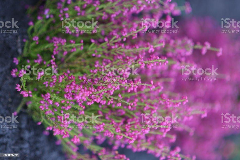 Pink heathers stock photo