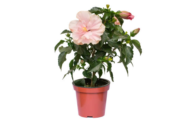 Pink hibiscus flower in a pot isolated on white background picture id937006660?b=1&k=6&m=937006660&s=612x612&w=0&h=qjruees hbs7o vaufdldydr1xg9leab5oovsxczagm=