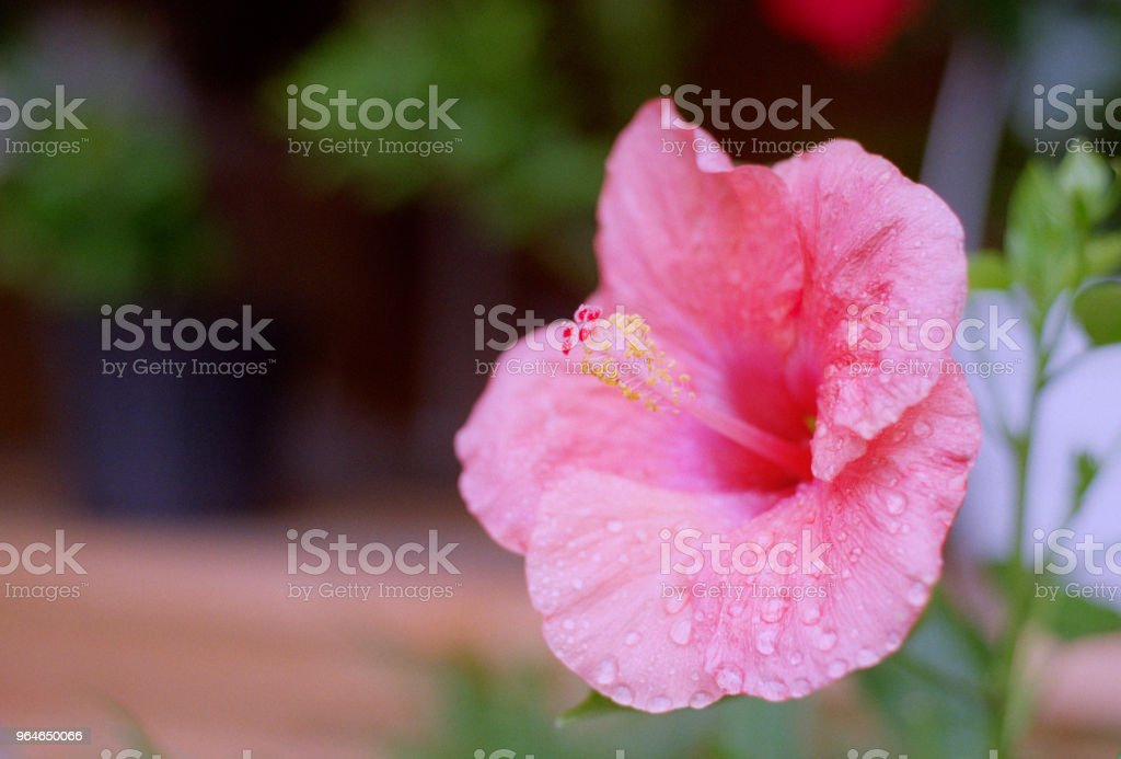 Pink hibiscus flower in water drops. Shot on film royalty-free stock photo