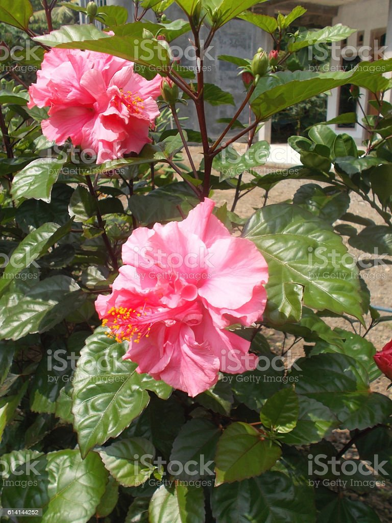 Pink Hibiscus Flower On The Tree Stock Photo More Pictures Of Asia