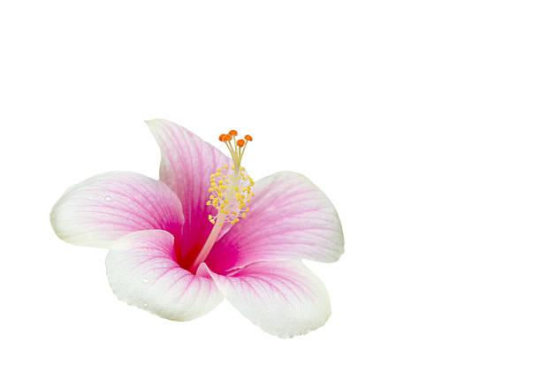 Pink hibiscus flower picture id451774255?b=1&k=6&m=451774255&s=612x612&w=0&h=1utvypqfhhyrgsxc7qxsn3wxiptop3oam5wkm3gooc8=