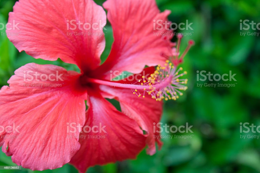 Pink Hibiscus Flower stock photo