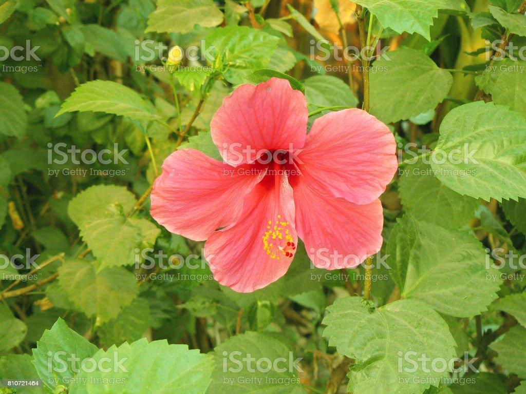pink Hibiscus flower. stock photo