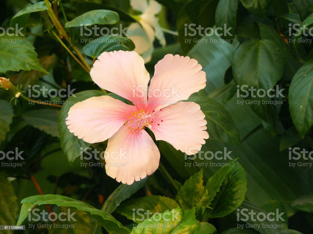 Pink Hibiscus flower stock photo