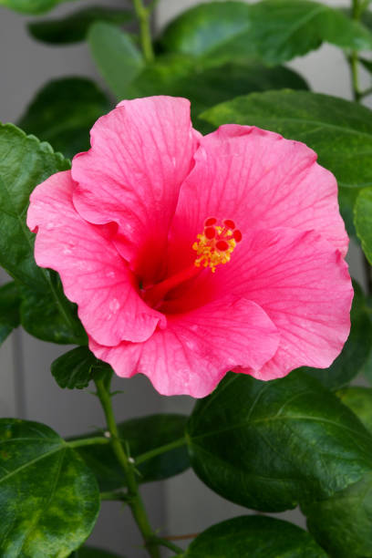 Top 60 Pink Hibiscus Flower In A Garden Stock Photos Pictures And