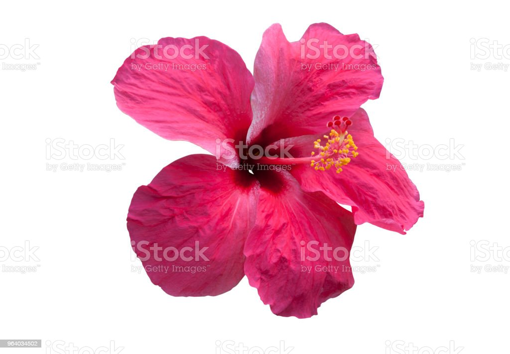 Pink hibiscus flower - Royalty-free Beauty Stock Photo