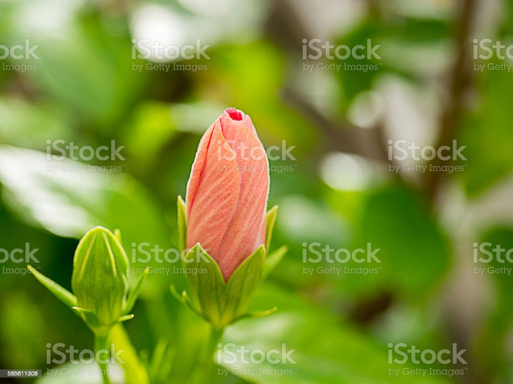 Pink hibiscus flower,out of focus stock photo