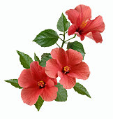 istock pink hibiscus flowers and buds isolated 1202577139