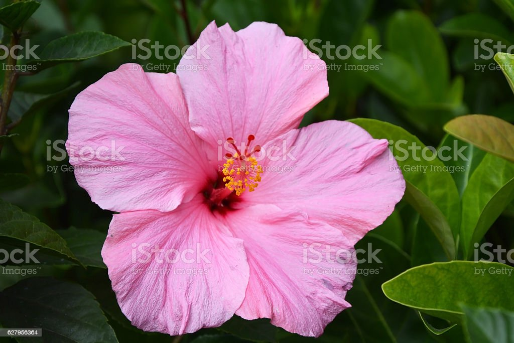 Pink hibiscus flowers closeup stock photo
