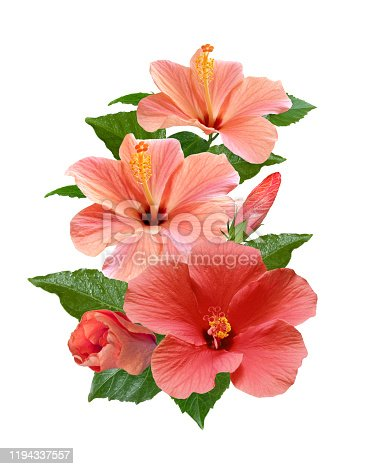 bright pink hibiscus flowers and leaves on a branch isolated on white background