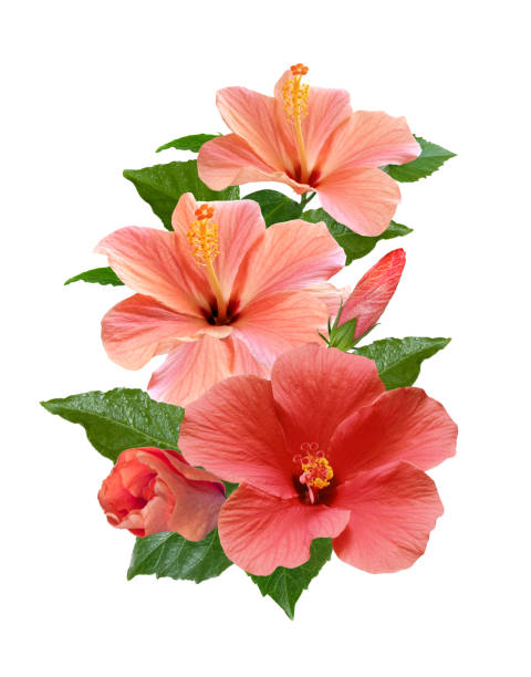 Pink hibiscus flowers isolated and leaves picture id1194337557?b=1&k=6&m=1194337557&s=612x612&w=0&h=iq7n8fyx46d yptqiumkmfkbx9rdpaypshpqg9ab4ba=