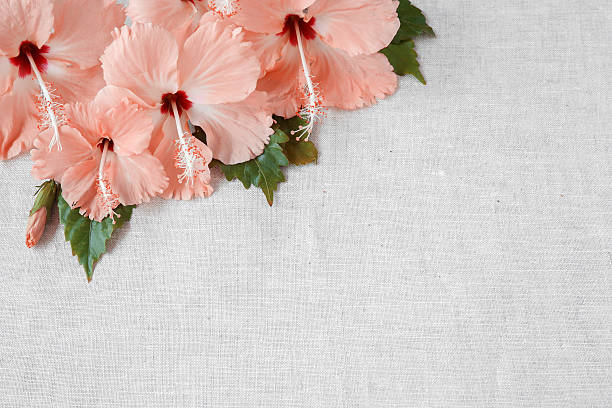 pink hibiscus flowers on linen, copy space background, selective - hawaiian flowers stock photos and pictures